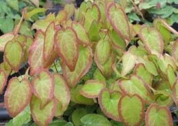 Epimedium grandiflorum 'Swallowtail'