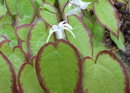 Epimedium sempervirens 'Cherry Hearts'