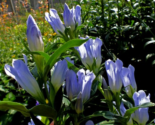 Gentiana makinoi 'Blue Magic'