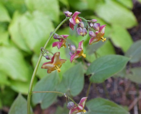 Epimedium x cantabrigiense 'Red Form'