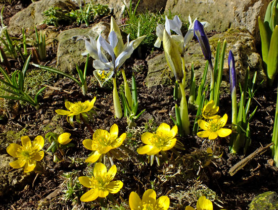 Eranthis hiemalis with dwarf irises