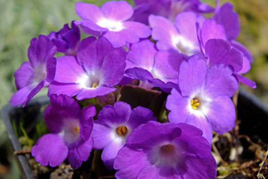 Primula x 'Stradbrook Dream'