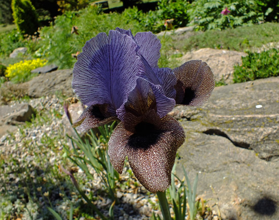 Rarely seen Oncocyclus susiana (syn. Iris susiana)