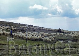 Sheep herd in the Plateau