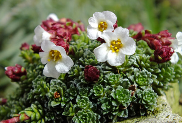Saxifraga ex. Porteous early April