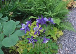 A cultivated long spured Aquilegia at New York Bot. G. copy