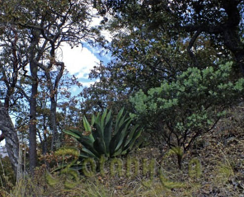 Agave, oaks and Arctostaphylos pungens