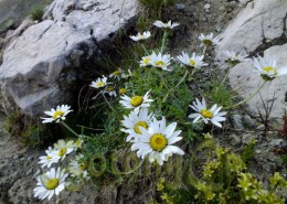 Anthemis carpatica in habitat