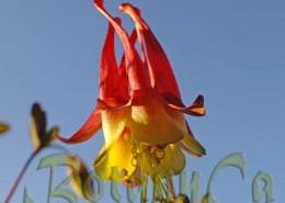 Aquilegia canadensis close up