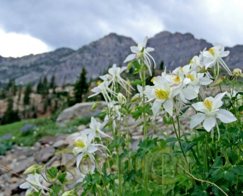 Aquilegia coerulea in Wasatch Mountains