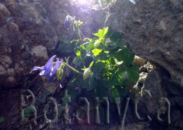 Aquilegia nigricans in Carpathian Mountains