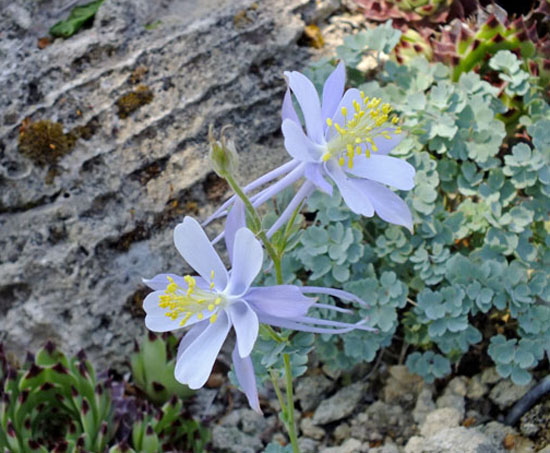 Aquilegia scopulorum x coerulea in the rock garden at Wrightman Alpines