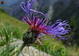 Centaurea pinnatifida