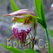 Cypripedium arietinum