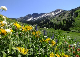Wildflowers in the Albion Basin