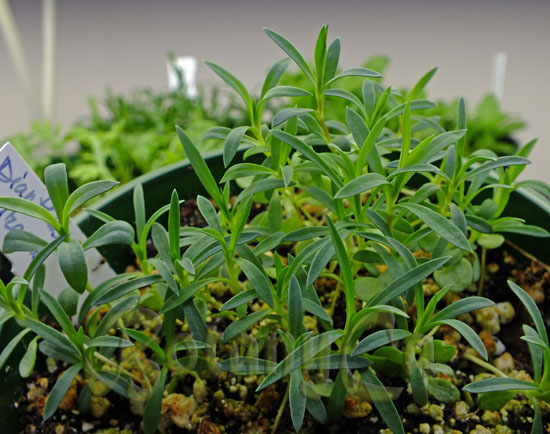 Dianthus petraeus seedlings