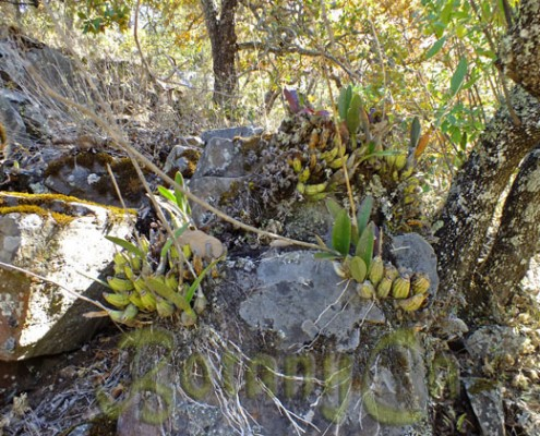 Epiphytic orchids in dry season