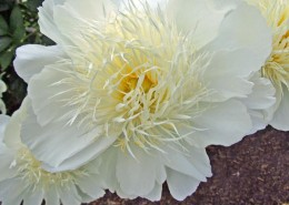 Paeonia 'Bride's Dream'