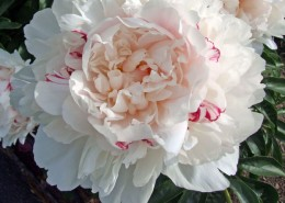 Paeonia 'Candy Heart'
