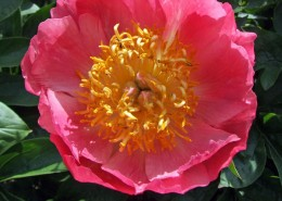 Paeonia 'Coral N'Gold'