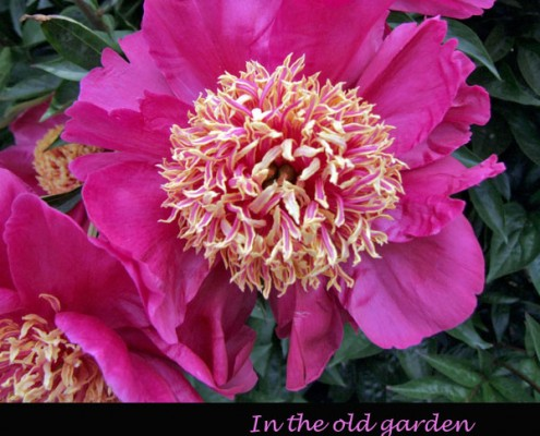 Paeonia 'West Elkton'