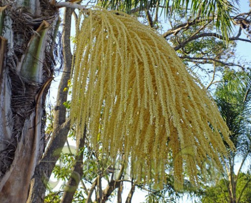 Palm inflorescence