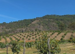 Young avocado orchard