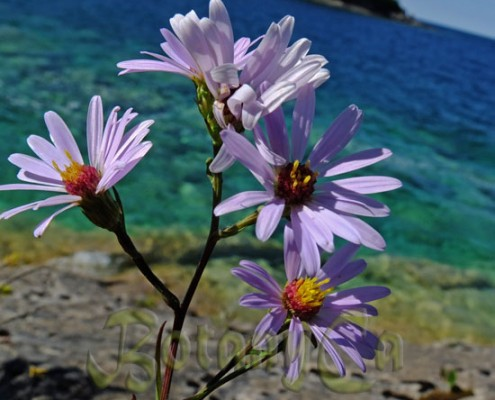 Aster laevis
