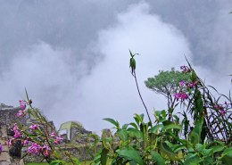 Orchids at Machu Picchu