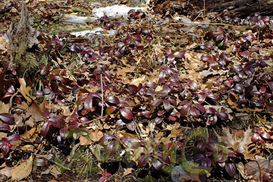 Gaultheria procumbens -early spring
