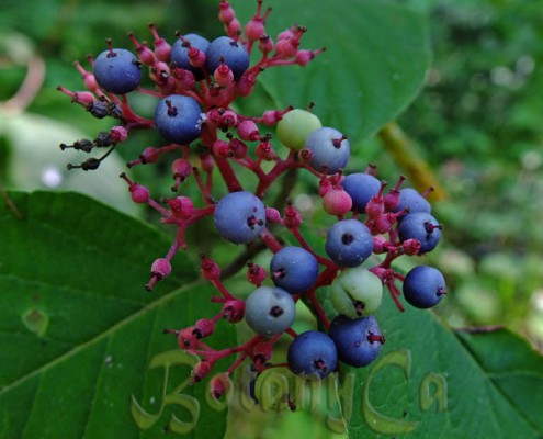 Cornus rugosa fruits