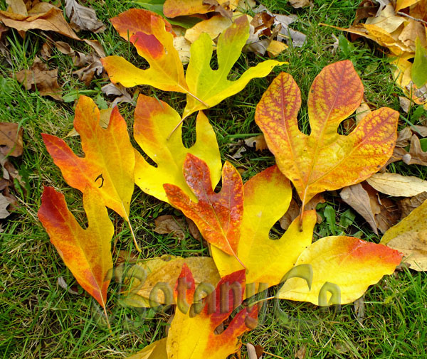 Sassafras albidum leaves