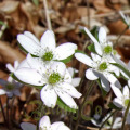 Hepatica acutiloba - white flower