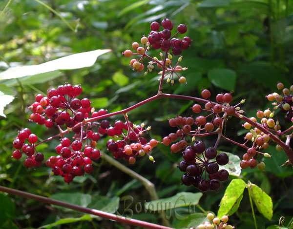 Aralia racemosa fruits
