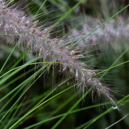 Grasses & related species