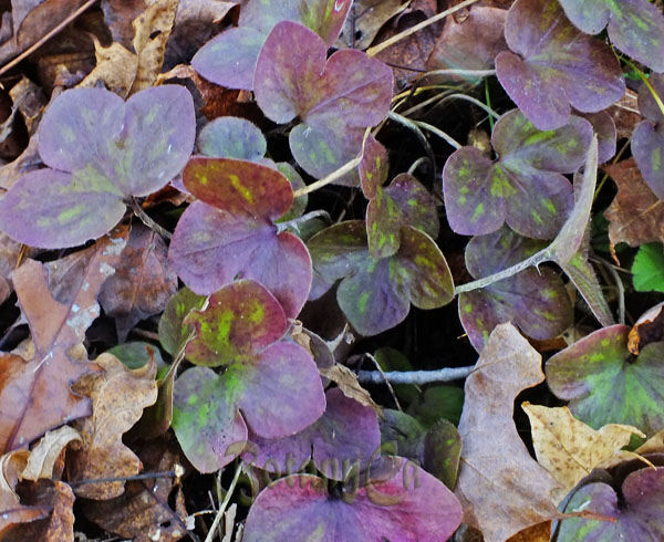 Hepatica americana fall-winter foliage