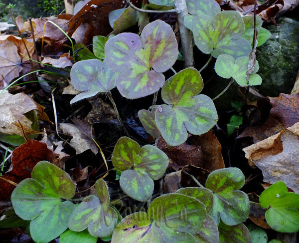 Hepatica americana fall-winter foliage2