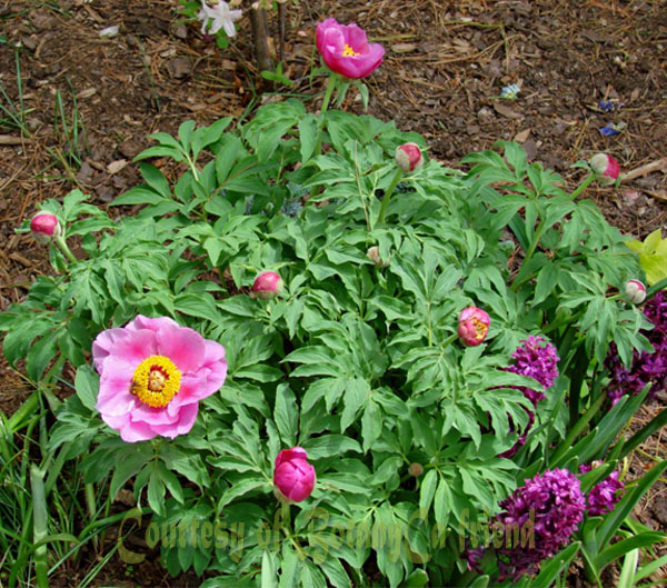 Paeonia officinalis botanically inclined seed adventures for Paeonia officinalis