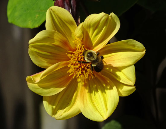 Dahlia coccinea yellow