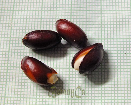 Calycanthus floridus seeds - nicked and soaked before to sowing