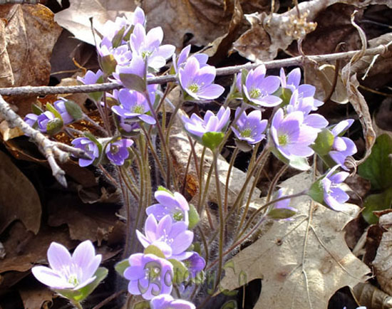 Hepatica acutiloba blue flowered