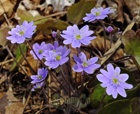 Hepatica americana- purple flowers