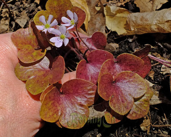 Hepatica americana - small leaf form