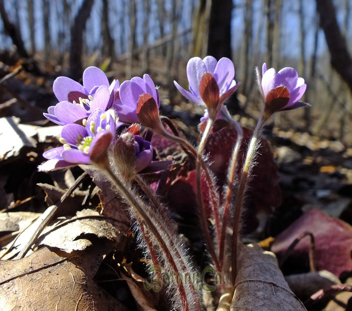 Hepatica starting to flower