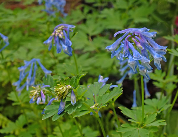 Corydalis 'Kingfisher'