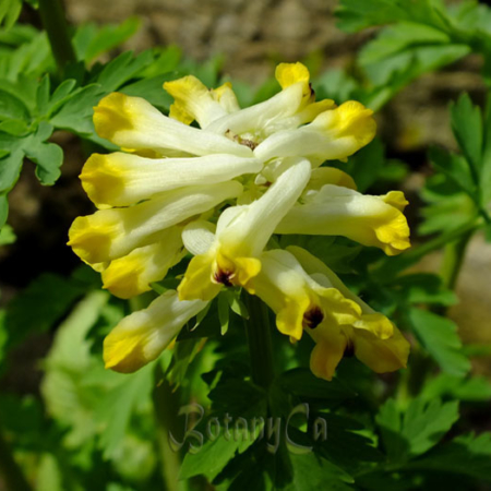 Corydalis & all
