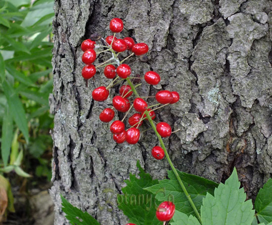 Actaea rubra fruits
