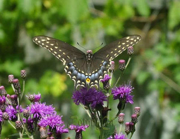 eastern-black-swallowtail