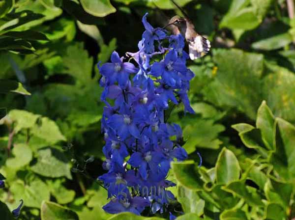 Hummingbird-on-delphinium