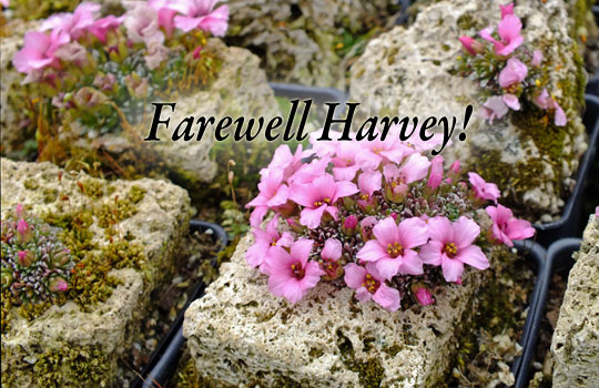 harvey-grown-saxifraga